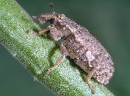 CAdult vegetable weevil