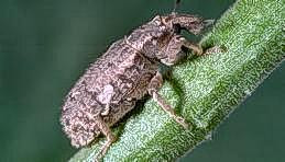 Vegetable weevil adult