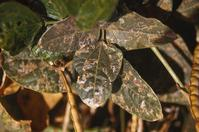 Leafminer damage