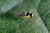 Adult vegetable leafminer.