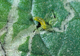 Leafminer mines and feeding punctures