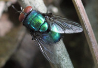 Green bottle fly,  Lucilia sp.