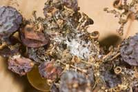 Feeding by larvae of European grapevine moth results in contamination of bunches with webbing, frass, and fungal infections.