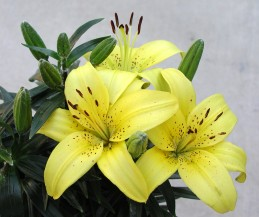 Yellow blossoms of Asiatic lily