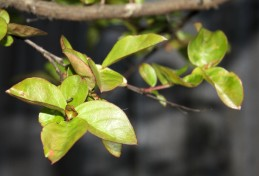 Leaves of crape myrtle