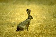 Adult jackrabbit.