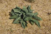 Basal rosette of perennial pepperweed.