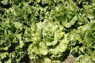 Plants with lettuce mosaic develop a mottling pattern on leaves.