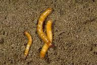 Sugarbeet wireworm larvae.
