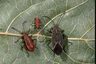Boxelder bug adult and nymphs.