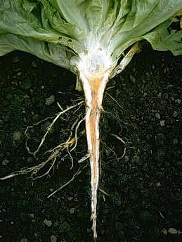 Discolored taproot due to ammonia injury