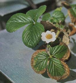 Strawberry leaf margins injured by salt toxicity
