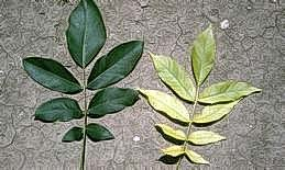 Healthy (left) and iron-deficient leaves