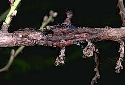 Brown rot overwinters on twigs in cankers
