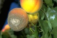 Fruit rot damage.