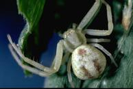 Crab spiders feed on mealybugs