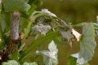 Branch and twig borer