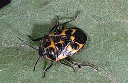 Harlequin bug adult