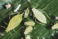 Potato aphid adults and nymphs.