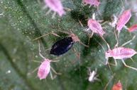 Parasitized aphids