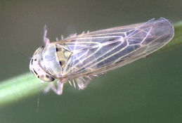 Aster leafhopper