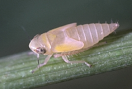 Aster leafhopper nymph