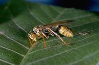 Paper wasps are more narrow waisted and have longer legs.