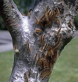 Group feeding of tent caterpillars
