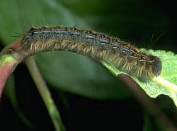 Forest tent caterpillar larva