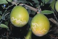 Citrus peelminer damage