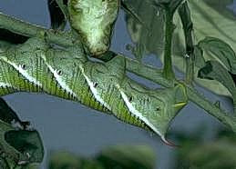 Thorn and striped pattern on hornworm