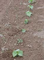 Stunted cucumber seedlings in a field infested with southern root knot nematodes.