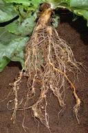 Lettuce roots infested with root knot nematodes
