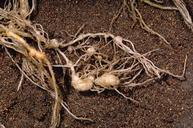 Crop damaged by root-knot nematodes.