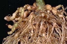 Galls caused by root-knot nematodes