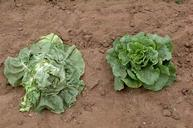 The lettuce plant on the left is wilting due to root knot nematode infestation.