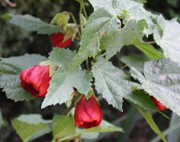 Flowers and foliage of flowering maple