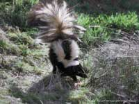 Adult striped skunk, Mephitis mephitis.