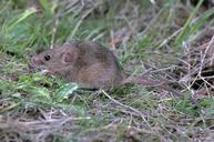 House mice are frequently found in residential households. They lack a white underside and have a relatively hairless tail.