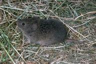 Vole (meadow mouse).