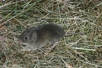 Adult meadow mouse.