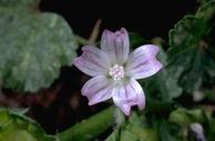 Flower of little mallow (cheeseweed), Malva parviflora.
