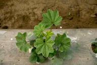 Cheeseweed infestation, little mallow infestation, Malva parviflora