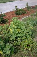 Mallow and other weeds in an unmulched landscaped area.