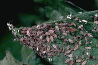 Potato aphids.