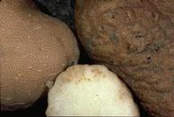 Root-knot nematodes cause various types of swellings, bumps and warts on tuber surfaces (right) and blemishes inside (center).