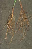 Healthy bean roots (above) and roots with galls caused by Javanese root-knot nematode.