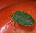 Adult Nezara bug