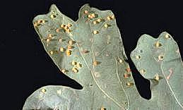 Galls caused by the jumping oak gall wasp