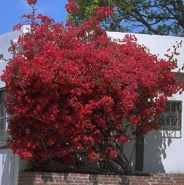 Red leaves of Bougainvillea